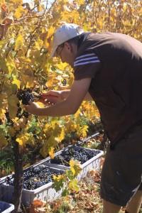 Picking Merlot Grapes in Orange, NSW