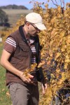 Picking Merlot in the Vineyard
