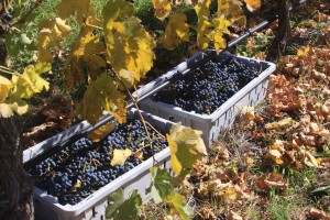 Merlot Grapes sitting in baskets, waiting to be picked up.