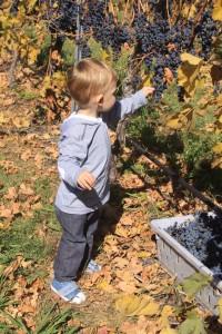 Enjoying sweet Merlot grapes