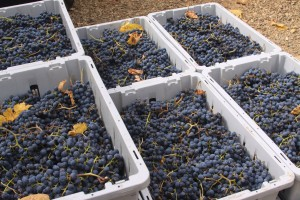 Merlot Grapes ready for processing