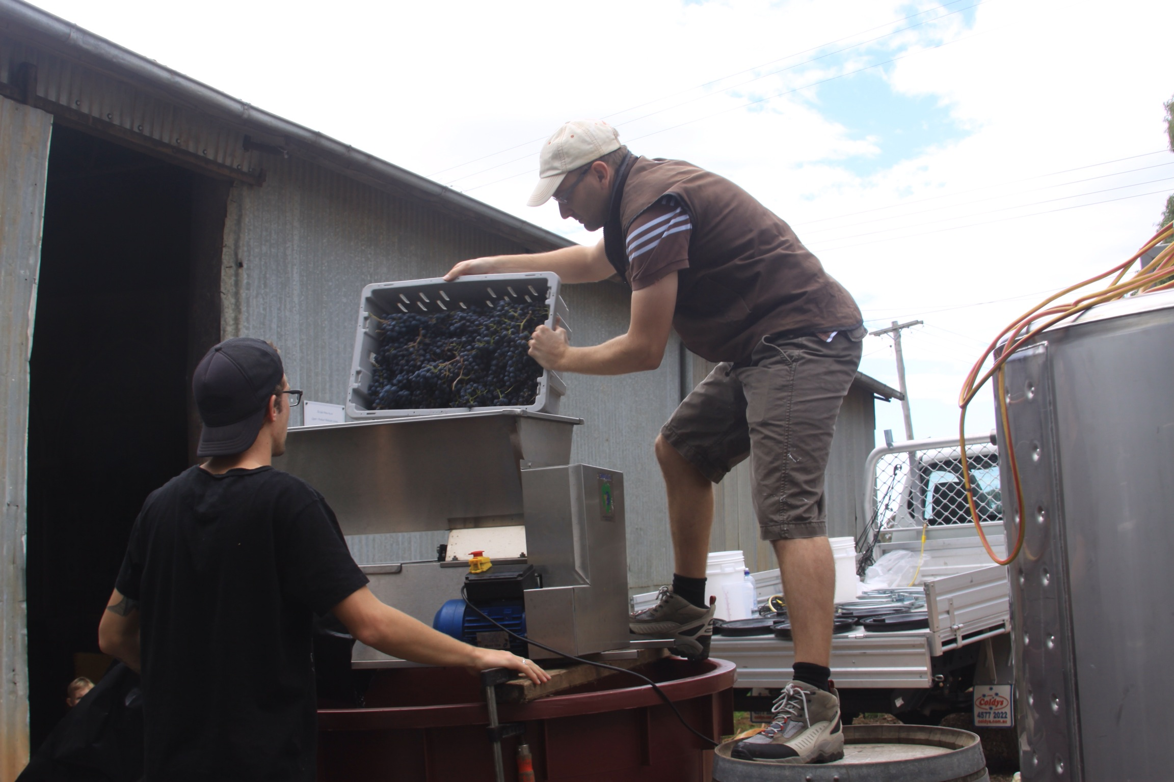 Processing Merlot Grapes Through Destemmer