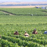 Champagne Vineyard Workers